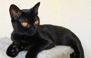 Gato Bombay: 5 Características Físicas y Personalidad
