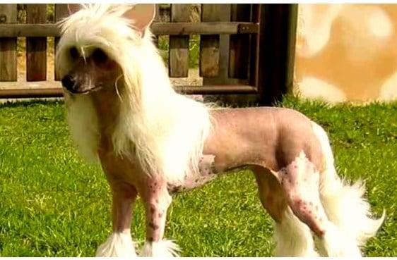 Entrenabilidad del perro crestado chino