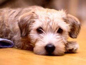 Cuidados del Glen of Imaal Terrier
