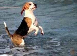 Cuidados de perros Beagles