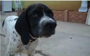 Temperamento del perro Catalburun