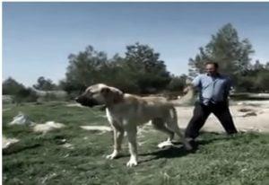 Temperamento del perro Kangal