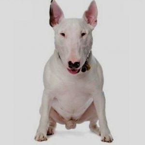 Bull Terrier stanford