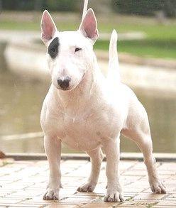 Bull Terrier caracteristicas