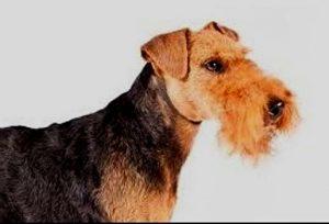 Welsh Terrier puppies