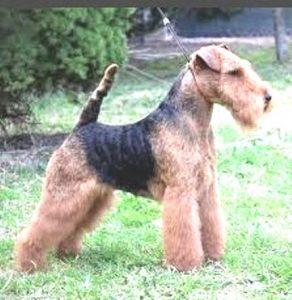 Welsh Terrier cachorro