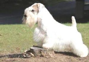 Sealyham Terrier price