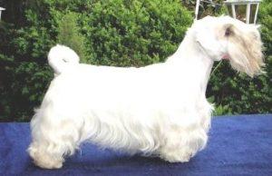 Sealyham Terrier breeders