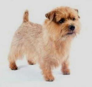 Norfolk Terrier mix