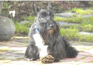 perro Scottish Terrier caracter