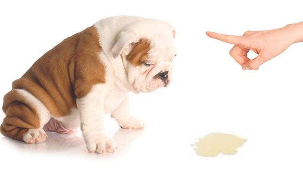 Orina de Perro