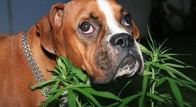 marihuana para mascotas medicinal