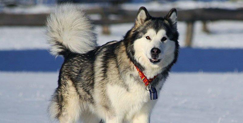 Perro Malamute Alaska lo Bueno y lo Malo de Ellos