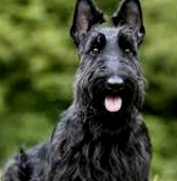 Enfermedades del Scottish Terrier