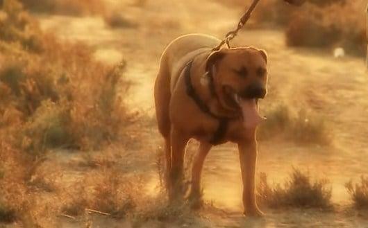 Origen del perro Tosa japonés