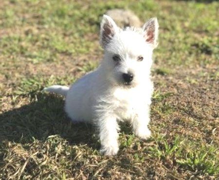 West Highland White Terrier temperamento