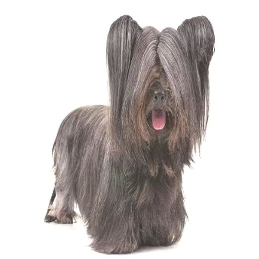 Skye Terrier price