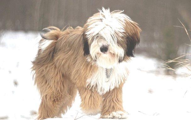 Tibetan Terrier size