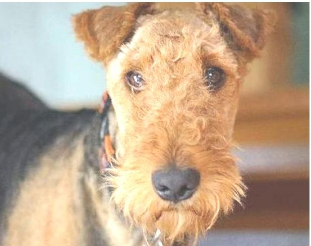 Airedale Terrier negro