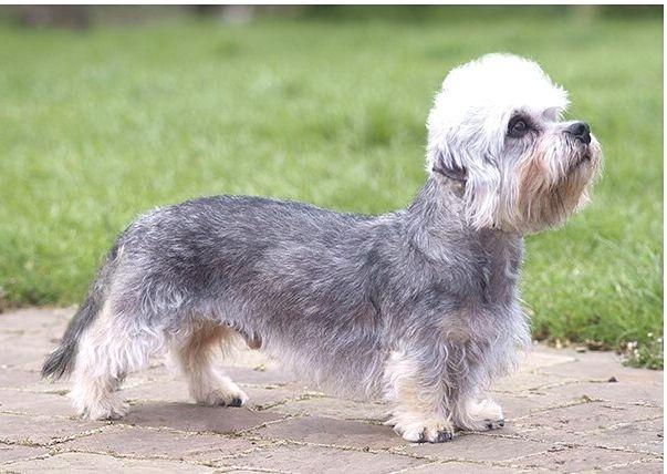 Dandie Dinmont Terrier price