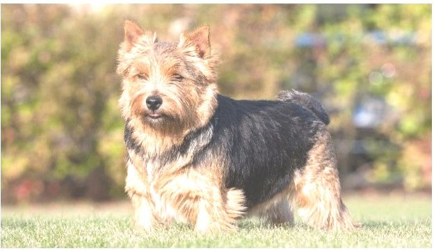 Norwich Terrier shedding