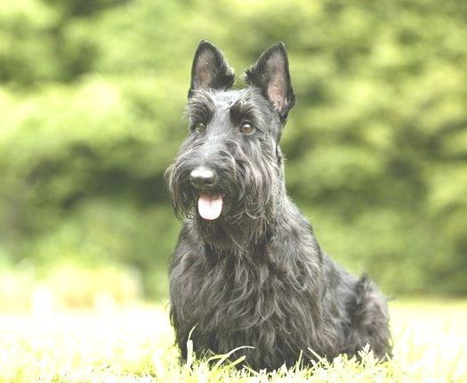 perro Scottish Terrier blanco