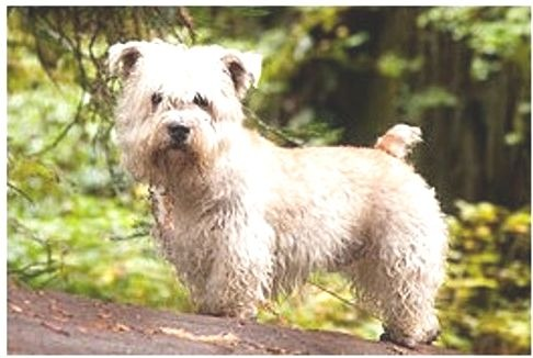 Glen of Imaal Terrier puppies