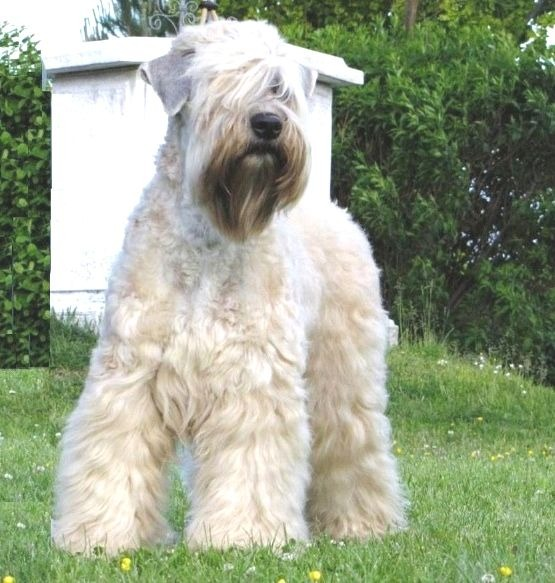 Irish Soft Coated Wheaten Terrier breeders