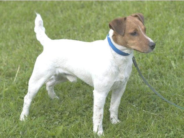 Parson Russel Terrier mix
