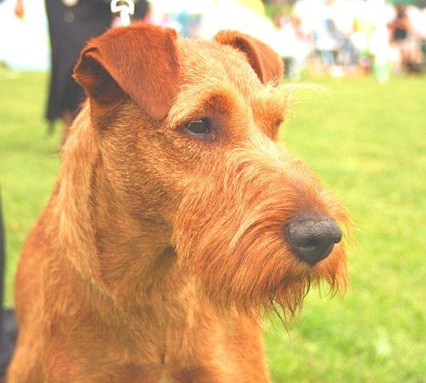Irish Terrier puppies