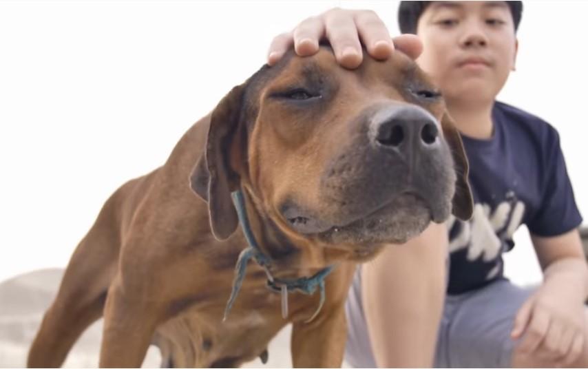 Mitos sobre Perros pitbull